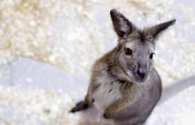 кенгуру в белом кенгуру
