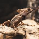 Василиск коричневый